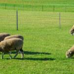 Sheeps farm in Sapporo Japan2 — Stock Photo #41245641