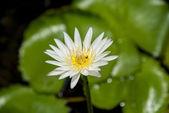 Bee on the lotus1 — Stock Photo