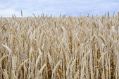 Golden barley field5 — Stock Photo