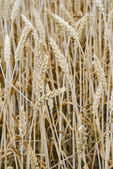 Golden barley field3 — Stock Photo