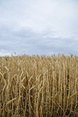 Golden barley field2 — Stock Photo