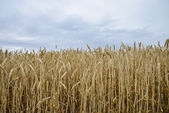 Golden barley field1 — Stock Photo