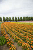 Row of orange flower in Farm1 — Stock Photo