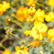Yellow cosmos flower in garden — Stock Photo #41364413