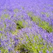 Stock Photo: Plenty of lavender flower