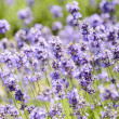 Stock Photo: Plenty Lavender in field2