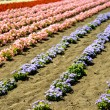 Row of colorful flowers with sunshine12 — Stock Photo #41367577
