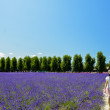 Walk in Lavender garden — Stock Photo #41367703