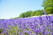 Lavender field with blue sky1 — Stock Photo