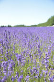 Lavender field with blue sky3 — Stock Photo