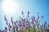 Lavender flower with blue sky2 — Stock Photo