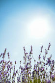Lavender flower with blue sky3 — Stock Photo