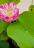 Pink lotus with green leaf1 — Stock Photo