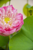 Pink lotus with green leaf2 — Stock Photo