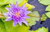 Purple lotus on the water — Stock Photo