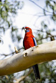 Red parot on the tree2 — Stock Photo