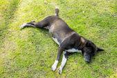 A black dog sleep on green grass2 — Stock Photo