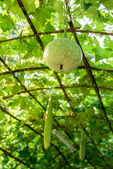 Winter melon on the hanger — Stock Photo