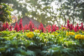 Red cockcomb flower in the garden1 — Stock Photo