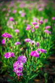 Pink Dianthus flower in the garden3 — Stock Photo