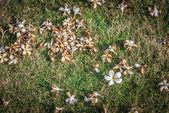 Fleur de plumeria blanc sur le grass1 — Photo