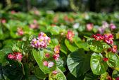 紫ベゴニアの花、garden4 — ストック写真