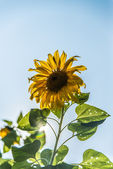 Sunflower and sunshine3 — Stock Photo