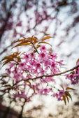 Wild Himalayan Cherry flower blossom3 — Stock Photo