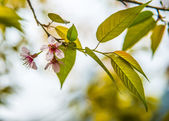 Pinky Wild Himalayan Cherry flower blossom4 — Stock Photo