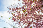 Pinky Wild Himalayan Cherry flower blossom3 — Stock Photo