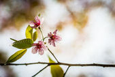 Wild Himalayan Cherry flower blossom with sunlight3 — Stock Photo