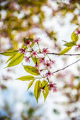 Wild Himalayan Cherry flower blossom with sunlight2 — Stock Photo