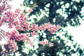 Wild Himalayan Cherry flower blossom4 — Stock Photo