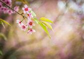 Beautiful Pinky Wild Himalayan Cherry flower blossom1 — Stock Photo