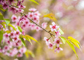 Beautiful Pinky Wild Himalayan Cherry flower blossom2 — Stock Photo