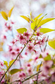 Beautiful Pinky Wild Himalayan Cherry flower blossom4 — Stock Photo