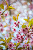 Beautiful Pinky Wild Himalayan Cherry flower blossom3 — Stock Photo