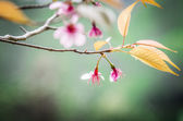 Wild Himalayan Cherry flower blossom on the tree2 — Stock Photo