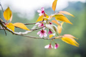 Wild Himalayan Cherry flower blossom on the tree1 — Stock Photo
