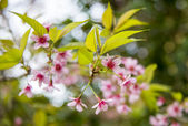 Wild Himalayan Cherry flower blossom on the tree4 — Stock Photo