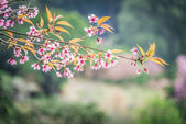 Wild Himalayan Cherry flower blossom on the tree10 — Stock Photo