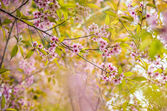 Wild Himalayan Cherry flower blossom on the tree12 — Stock Photo