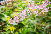Wild Himalayan Cherry flower blossom on the tree13 — Stock fotografie