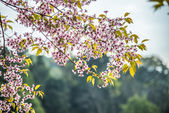 Wild Himalayan Cherry flower blossom on the tree11 — Stock Photo