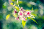 Pinky Wild Himalayan Cherry flower blossom in the forest3 — Stock Photo