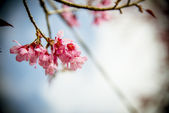Pinky Wild Himalayan Cherry flower blossom with blue sky3 — Stock Photo