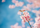 Pinky Wild Himalayan Cherry flower blossom with blue sky6 — Stock Photo
