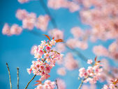 Pinky Wild Himalayan Cherry flower blossom with blue sky7 — Photo