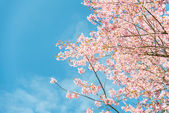 Pinky Wild Himalayan Cherry flower blossom with blue sky4 — Stock Photo