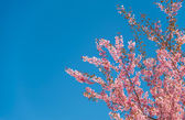 Pinky Wild Himalayan Cherry flower blossom with blue sky9 — Stock Photo